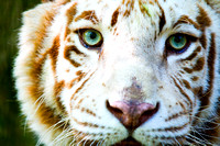 The Eyes of an Albino Tiger